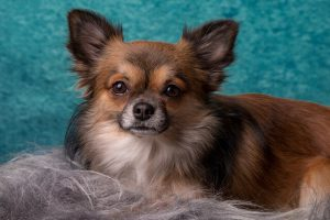 Dog Grooming Scissors Reviews - Long-Haired Chihuahua